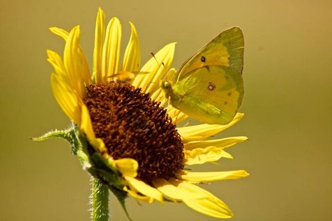 A Butterfly on a Sunflower at the Reservoir