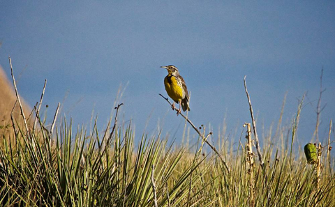 A Western Meadowlark Along the Pawnee Butte Trail