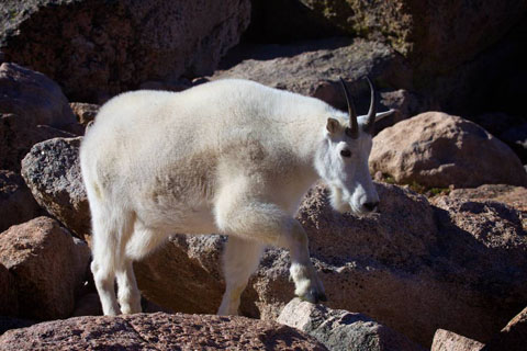 Rocky Mountain Goats Like Rocks