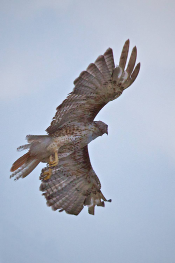 A Red-Tailed Hawk Flies Away