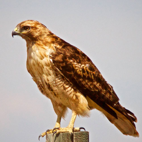 A Red-Tailed Hawk Looks for Prey