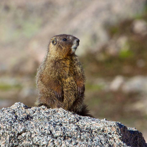 Another Marmot