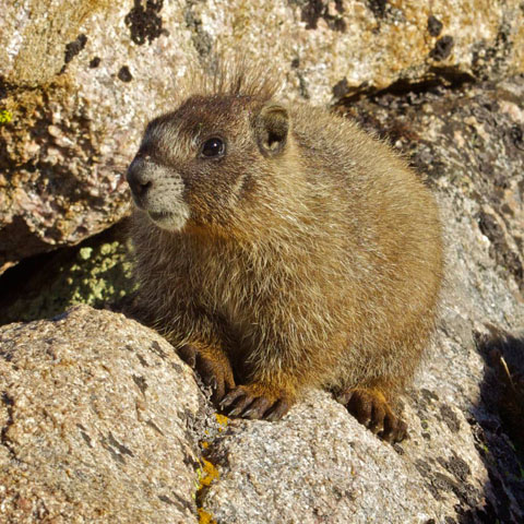 A Young Marmot