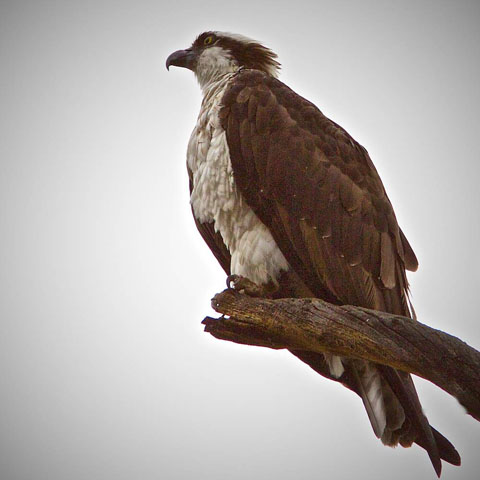 An Osprey at Long Draw
