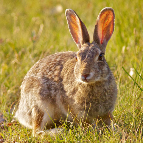 One of Many Rabbits I Saw at Crow Valley
