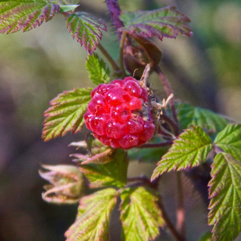 A Wild Raspberry