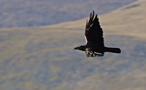 A Raven in Flight