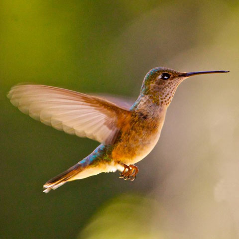 A Tiny Rufous Hummingbird in Flight
