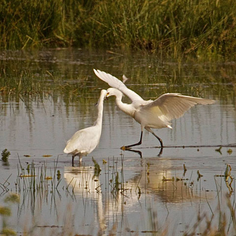 A Pair of Snowy Egrets