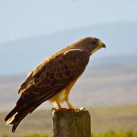 A Swainson's Hawk