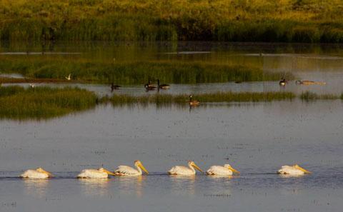 A Row of White Pelicans