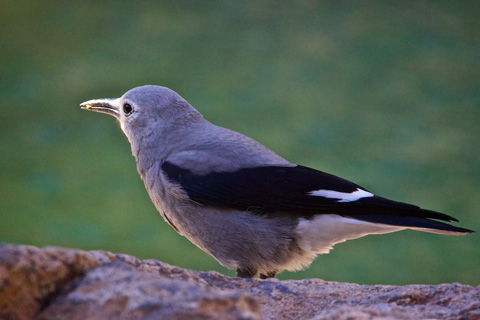 A Clark's Nutcracker at Emerald Lake