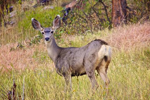 A Mule Deer Doe