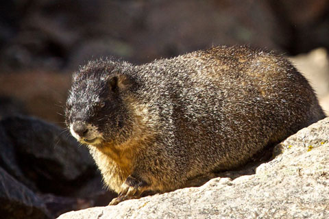 A Fat Marmot