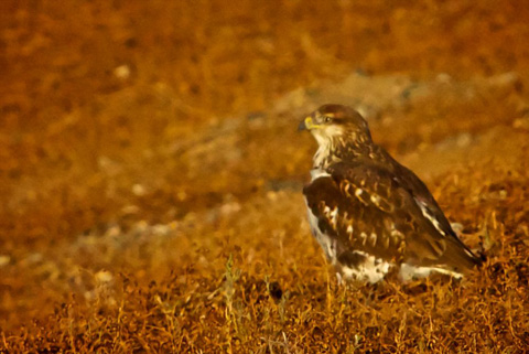 Grounded Hawk