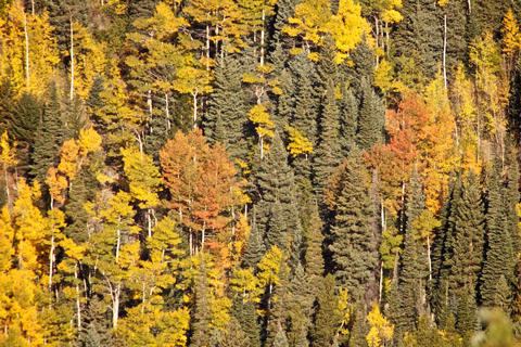 A Few Golden Aspens