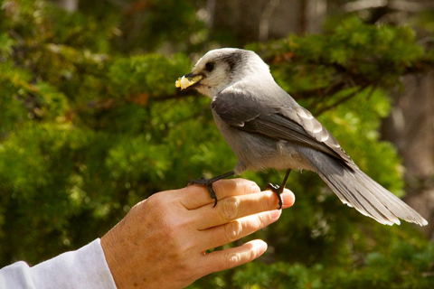 The Gray Jay's Claws Look Sharp, But Sharon Says that the Bird Was Gentle