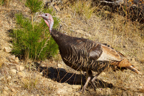 One of the Wild Turkeys We Saw Saturday
