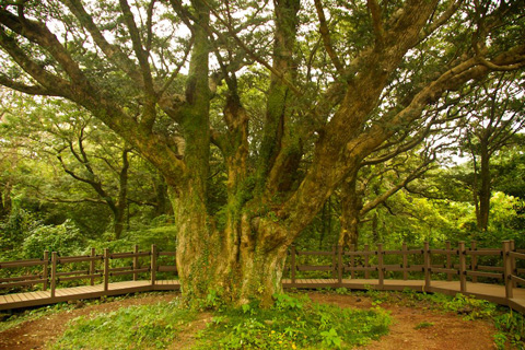 Jeju's Oldest Evergreen