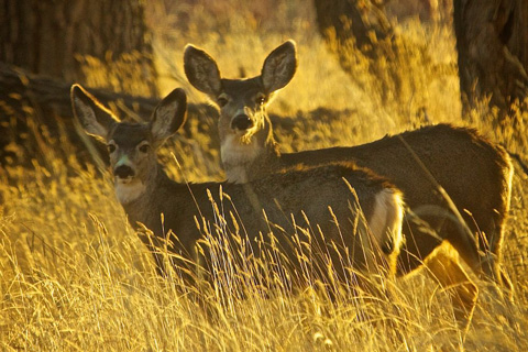 Normally Skittish, These White Tail Deers Stopped for Us at Last Light