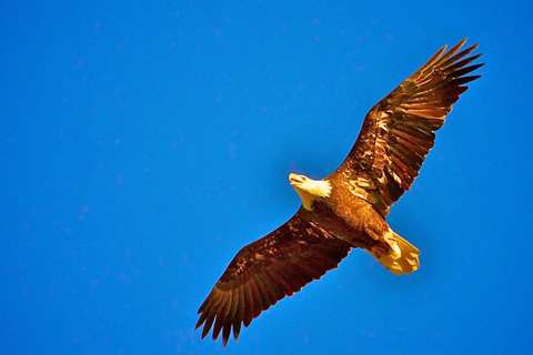 A Bald Eagle Can Have a 7-Foot Wingspan