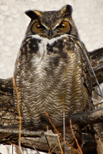 Sharon's Great Horned Owl