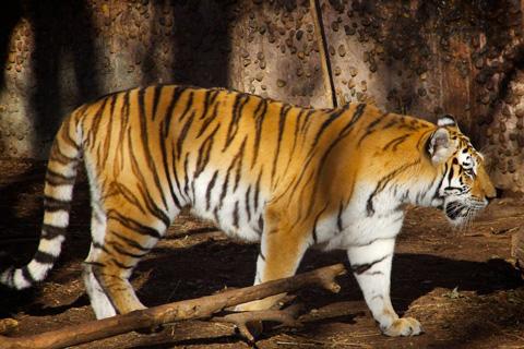 Papa Tiger