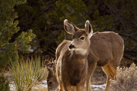 Mule Deer in Crestone