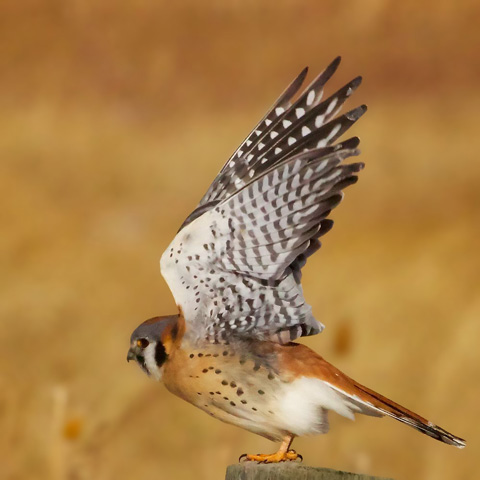 The Kestrel Takes Off