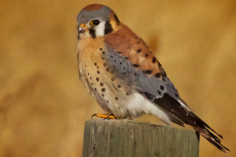 The Kestrel Waits