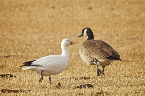Snow Goose Meets Canada Goose