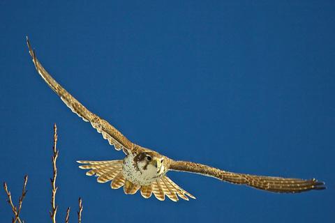 A Prairie Falcon