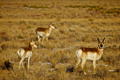 A Pronghorn Family