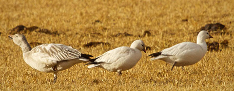 Three Lost Snow Geese