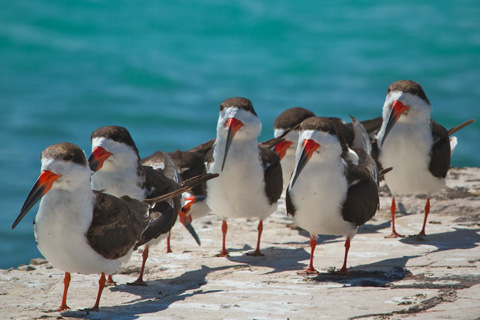 A Conspiracy of Black Skimmers