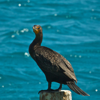 A Double-Crested Cormorant