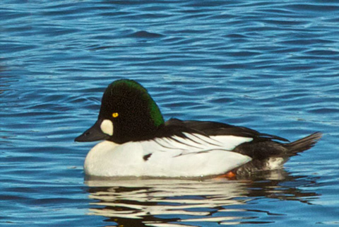 Closeup of the Common Goldeneye