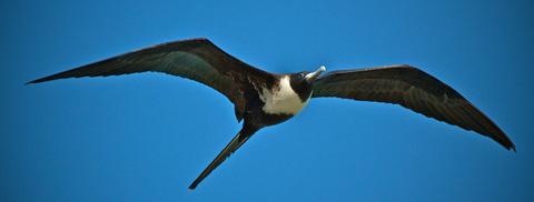 A Female Magnificent Frigatebird