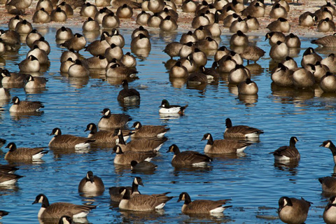 Many Geese, One Goldeneye