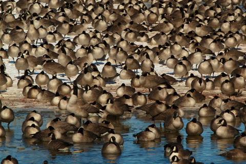 A Few Geese