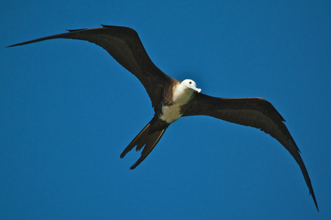 A Juvenile Magnificent Frigatebird