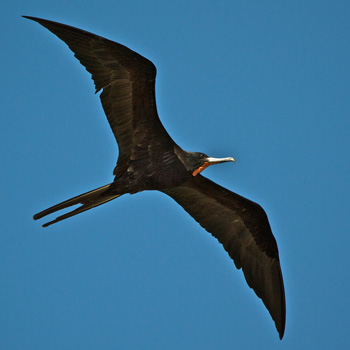 A Male Magnificent Frigatebird