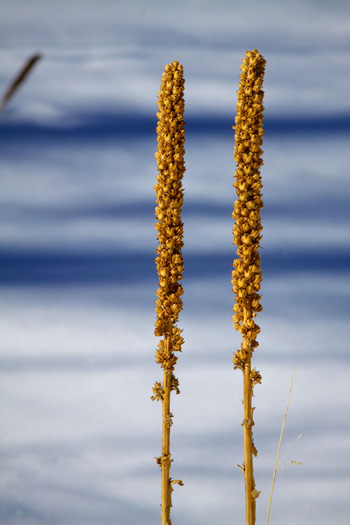 Common Mullein in Winter