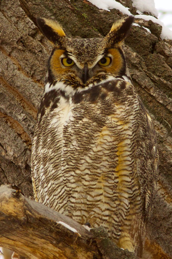 A Great Horned Owl While Crows Mobbed It