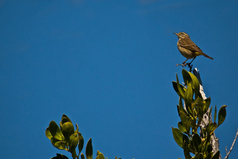 A Palm Warbler