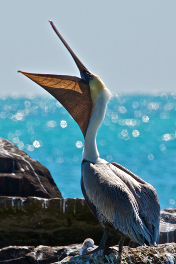A Brown Pelican Eats
