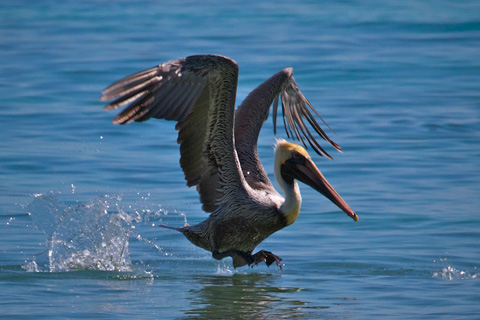 A Brown Pelican Lands