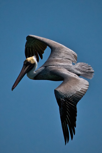 A Brown Pelican Flies