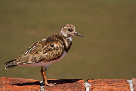 A Ruddy Turnstone