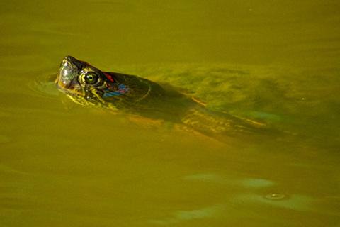 Turtle Eyes